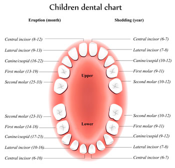 Tooth Eruption Chart - Pediatric Dentist in Macon, GA